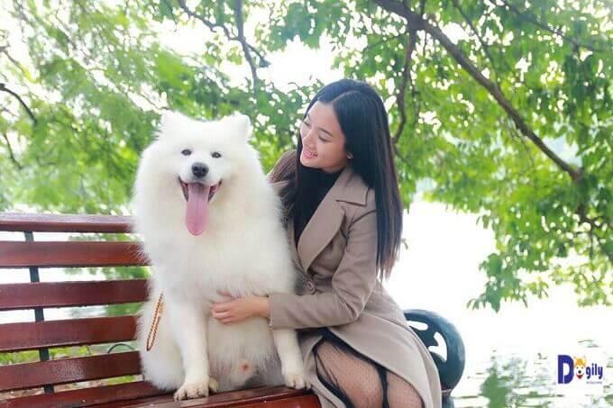 Chó Samoyed thuần chủng chỉ có một màu lông trắng như tuyết.