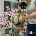 Nuôi chó Husky đúng cách luôn là mối quan tâm hàng đầu của chủ nhân.