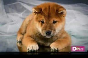 Các vấn đề về sức khỏe của chó Shiba