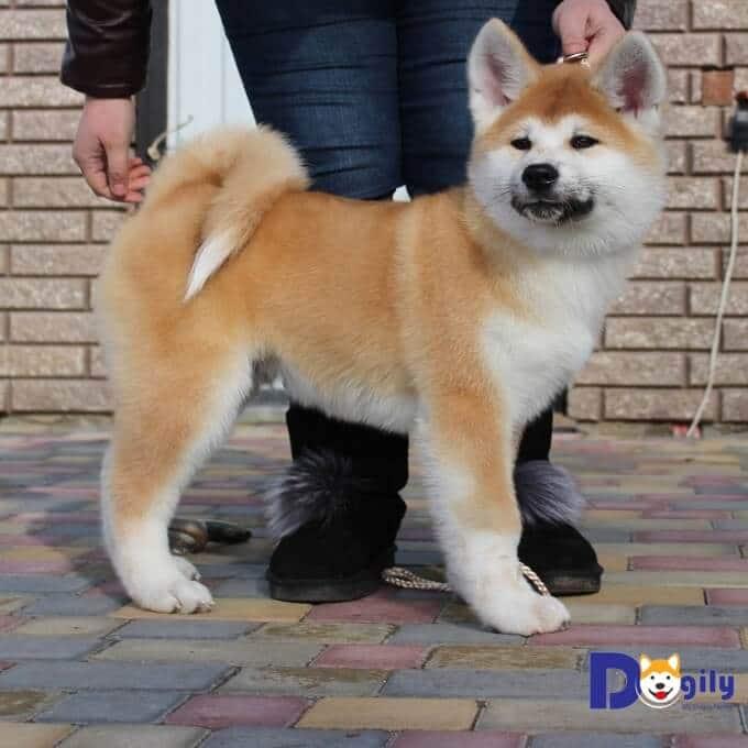 Chó Akita Inu có tính cách thân thiện và hòa đồng.