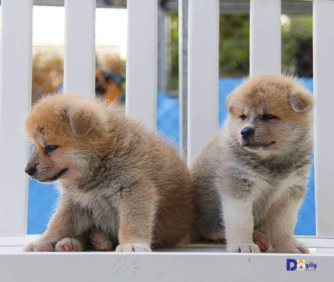 Cả hai chú chó Akita đều rất bụ bẫm, khỏe mạnh, thần thái rất tốt. Hứa hẹn trở thành những chú chó Hachiko hoàn hảo trong tương lai.