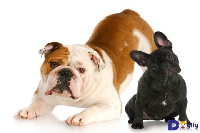 Chó Bull Anh và Bull Pháp, Pug đều có họ hàng gần và có cùng nguồn gốc từ chó Mastiff.