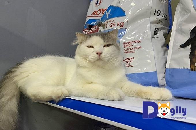 Chú mèo Anh lông dài đực giống của Dogily Petshop tên Tây Môn Khánh với bộ lông dài cực ấn tượng.