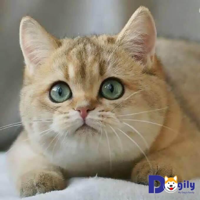 Mèo anh lông ngắn đẹp và dễ thương