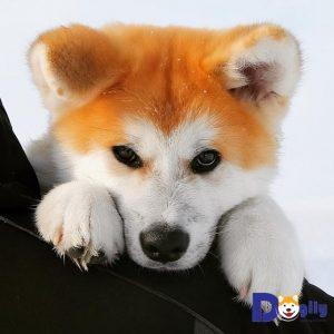 Bán chó akita con xinh tại Dogily petshop tại thành phố hồ chi minh