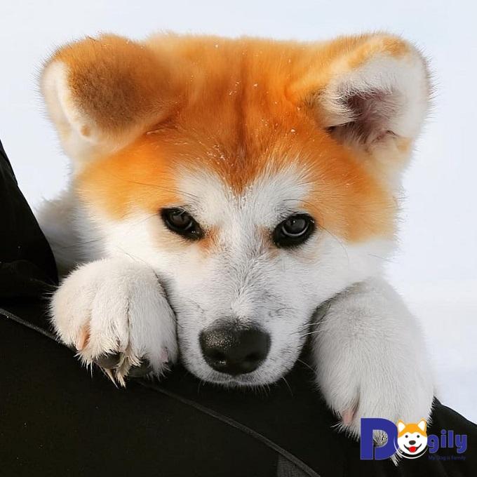 Chó Akita ( cậu vàng ) hot hần hật mở bán tháng 9 | Trending top 1 ( MS : 7919Aki )