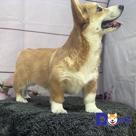 Bán chó corgi nhập khẩu châu âu