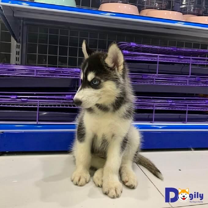 ảnh chó husky đẹp mặt ngáo và thuần chủng