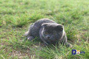 Mèo Anh lông ngắn xinh xắn vui đùa trên cỏ