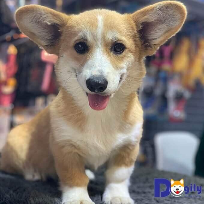Bán chú chó corgi nhập khẩu liên bang nga tháng 06/2019