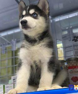 Bán chó Husky mặt ngáo hai màu mắt tại Dogily Petshop.