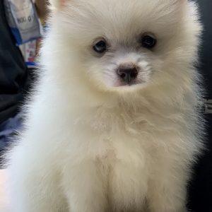 Bán chó Phốc Sóc cực xinh với bộ lông tuyết trắng