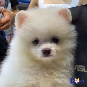 Bán chó phốc sóc trắng như bông gòn tháng 7 năm 2019 tại Dogily Petshop.