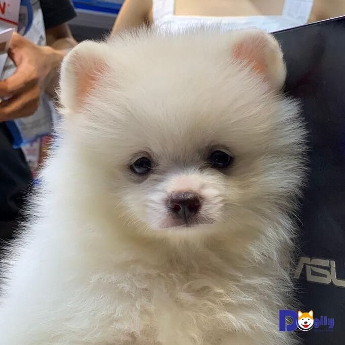 Bán chó Phốc Sóc tháng 6 năm 2019