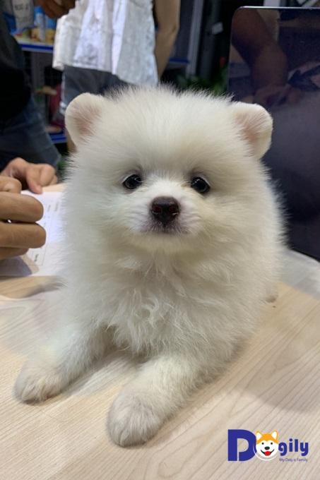 Bán chó Phốc Sóc tháng 6 năm 2019  màu trắng cực xinh mới 2 tháng tuổi