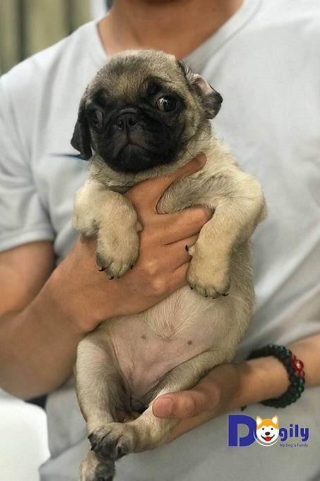 Bán chó cảnh,chó Pug(Mã số:0619 PUG)