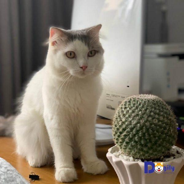Bán mèo anh lông dài đẹp với bộ lông bạch tuyết