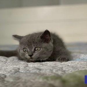 bán mèo anh lông ngắn màu xám xanh xinh thật xinh