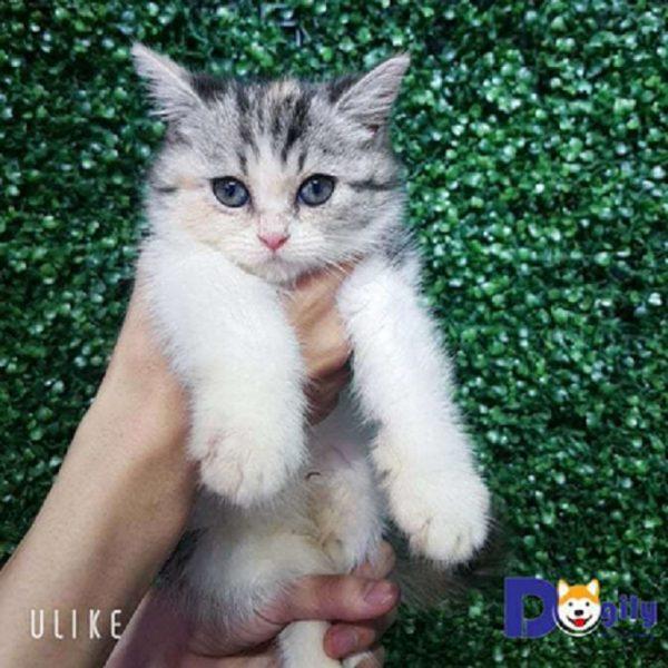 Mèo Tam Thể xinh xắn tại thành phố HCM