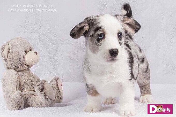 Chó Corgi Cardigan có bộ lông khá phong phú về màu sắc.