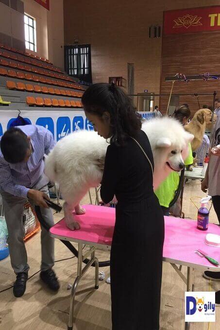 Chải lông cho chó Samoyed. Bạn có thể tỉa bớt lông cho cún cưng vào mùa hè.