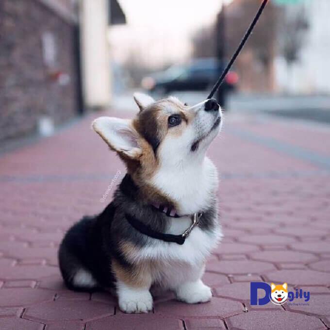 Bạn cần lưu ý khi chăm sóc chó Corgi Cardigan. Không cho chúng ăn quá nhiều dẫn đến béo phì.Và phải cho cún cưng tập thể dục thường xuyên.