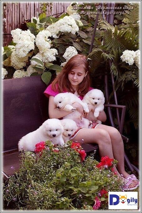 Chó Samoyed cần được quan tâm, chăm sóc ngay từ khi còn nhỏ.