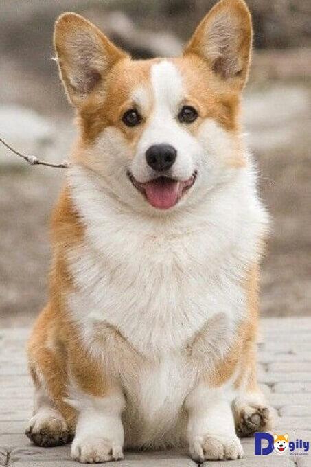 Chế độ dinh dưỡng ảnh hưởng rất lớn đến sự phát triển khỏe đẹp của chó Corgi.