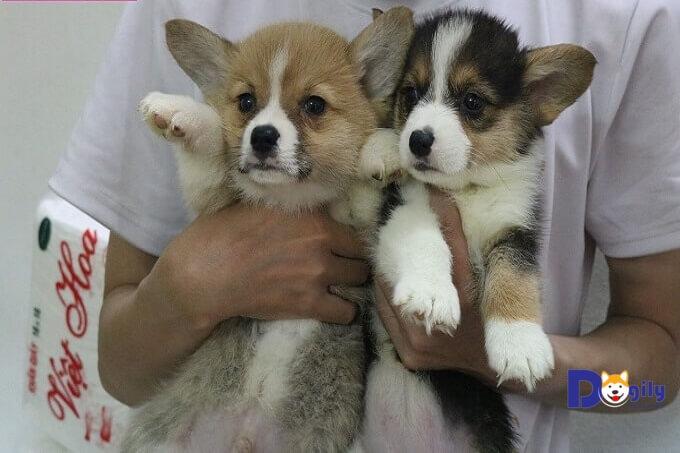 Nhiều người bán chó Corgi giá rẻ tiềm ẩn rủi ro bệnh tật, lừa đảo.