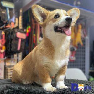 Chú chó Corgi nhập khẩu Liên bang Nga về đến Dogily Petshop Phú Nhuận ngày 14.6.2019.