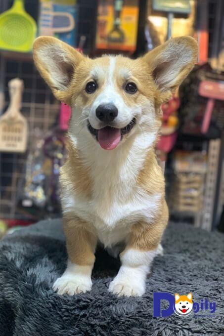 Chó Corgi nhập khẩu Thái Lan có giá dao động từ 30-40 triệu đồng 1 con.