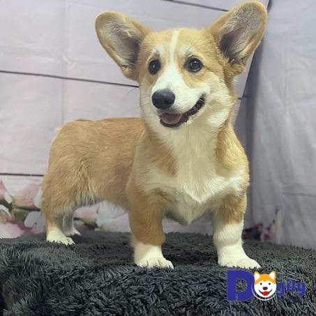Bán chú chó corgi nhập khẩu liên bang nga(MS:F20619)