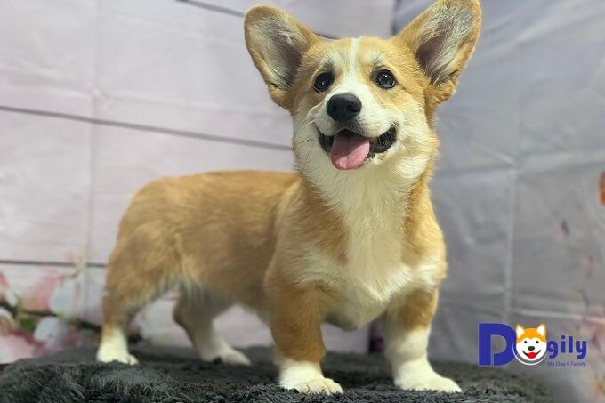 Nên chọn nuôi chó pem corgi hay cardigan corgi? Pem corgi có đặc điểm gì nổi bật?