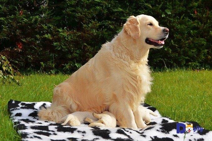 Ngày nay, chó Golden chính là giống chó đồng hành được nuôi phổ biến nhất trên toàn thế giới.