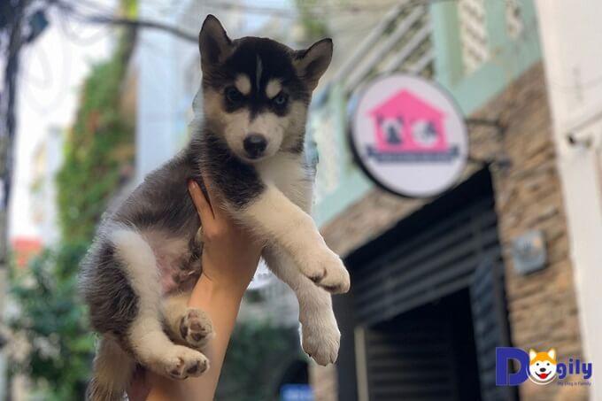 ảnh chó husky xinh đẹp và mặt ngáo