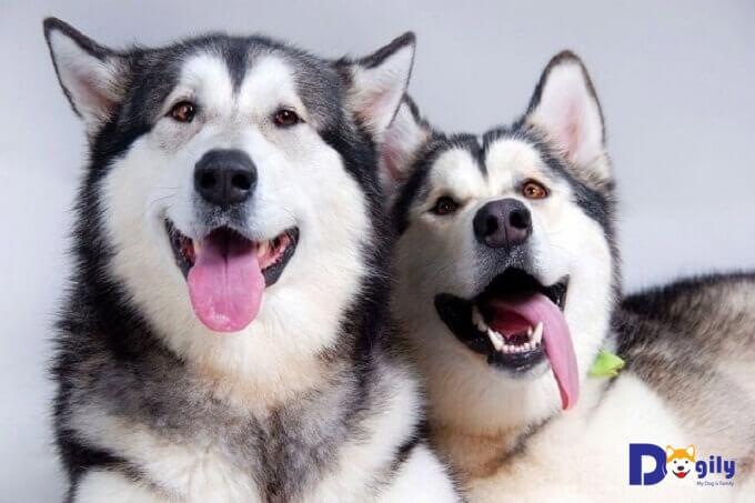 Cho chó Husky ăn gì để khỏe mạnh luôn là mối quan tâm hàng đầu của những người nuôi giống chó này.