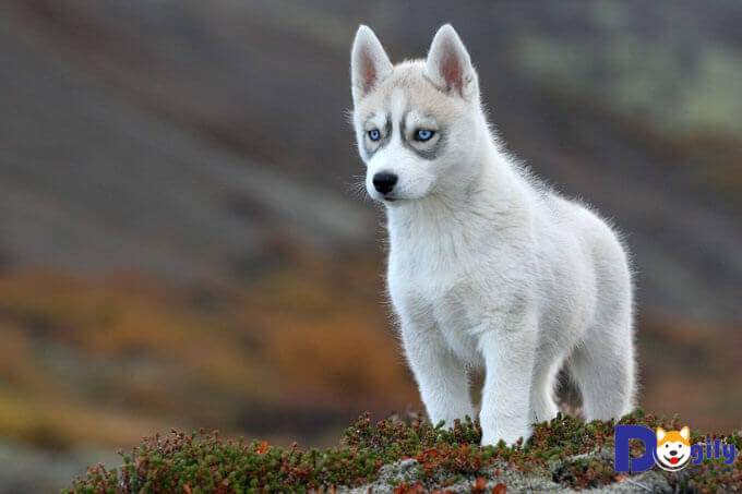 Số bữa ăn mỗi ngày của chó Husky tùy thuộc theo lứa tuổi.