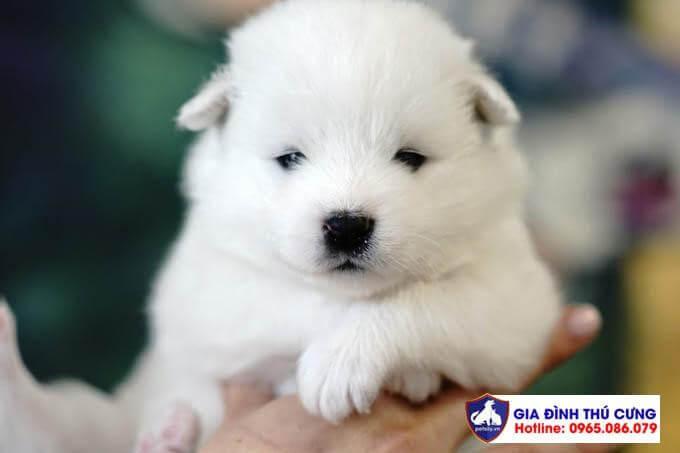 Hình ảnh một chú chó Samoyed 20 ngày tuổi.