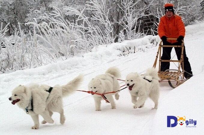 Chó Samoyed có nguồn gốc từ giống chó kéo xe vùng Siberia, nước Nga.