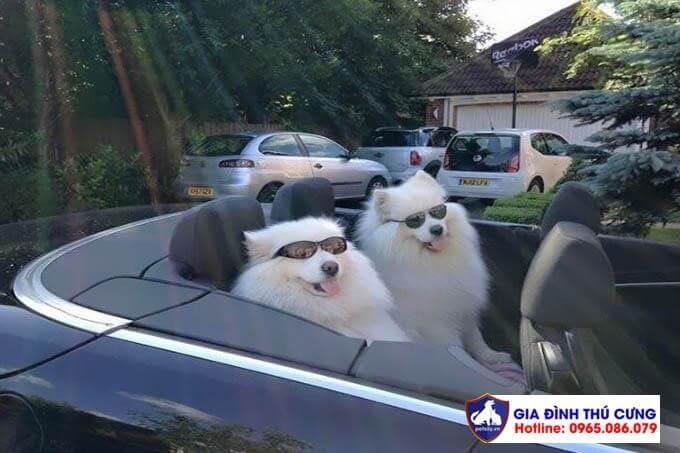 Chiêm ngưỡng những hình ảnh đẹp chó samoyed