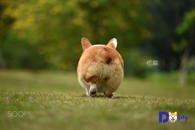 Chó Corgi Pembroke thường được cắt đuôi ngay từ khi còn nhỏ. Để cắt tỉa mông hình trái tim.