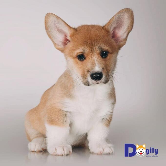 Giá bán chó Corgi Pembroke nhập khẩu có thể lên đến 80 triệu đồng 1 con.