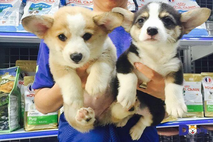 Giá chó Corgi Pembroke và Cardigan tại Việt Nam bao nhiêu? Có nên mua chó Corgi giá rẻ không?