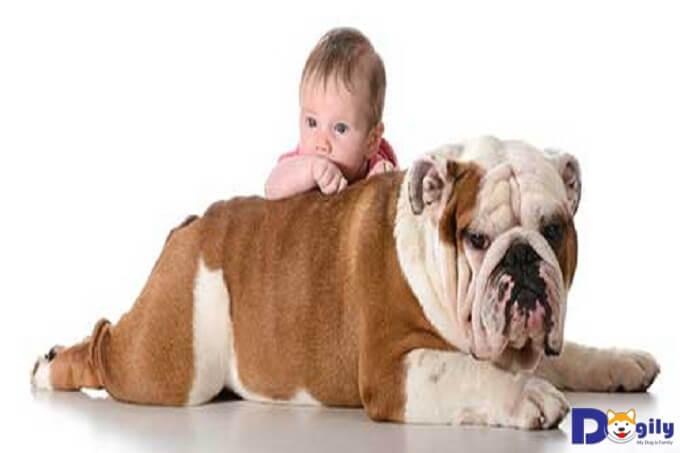Chó Bull Anh như tên gọi của mình có nguồn gốc từ Vương Quốc Anh.