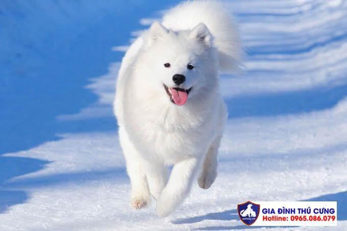 Hình ảnh kinh điển chó Samoyed vui đùa trên tuyết