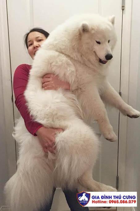 Chó samoyed to lớn vẫn thích ôm