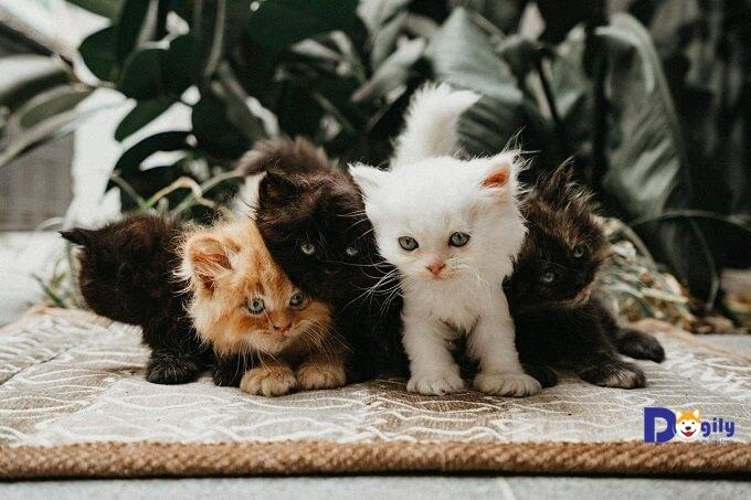 Một đàn mèo Anh lông dài (Ald) con được nuôi tại trại mèo Dogily Cattery.