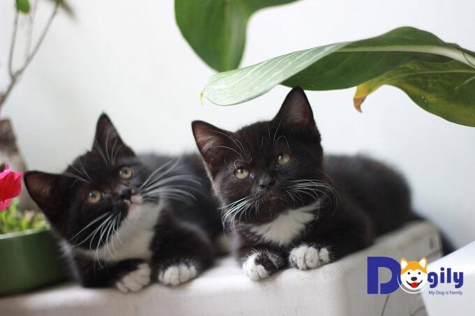 Bạn nên động viên, khen thưởng kịp thời khi mèo Anh lông ngắn aln thực hiện đúng động tác.