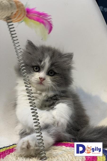 Bán mèo anh lông dài màu bicolor