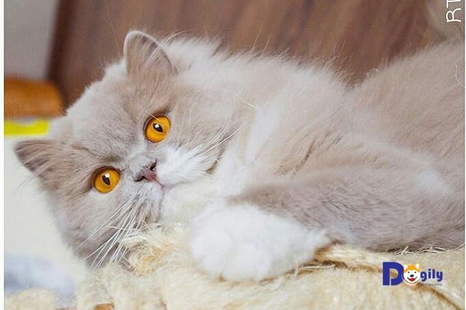 Bạn không nên cho mèo Aln ăn quá nhiều tinh bột như cơm cháo. Nếu nuôi theo cách này, chú mèo Anh lông dài của bạn rất dễ bị béo phì.